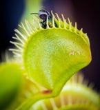 Eine Fliege gefangen in Venus Flytrap Lizenzfreie Stockfotografie