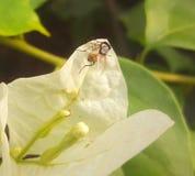 Eine Fliege ist auf einem Weiß lilly Stockfotografie