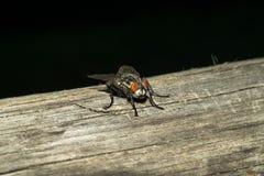 Eine Fliege mit gelblichen roten Augen, sitzt auf einer Holzoberfläche Makro Stockfoto