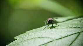 Eine Fliege sitzt auf einem gr?nen Blatt des Grases und der W?schen stock video footage