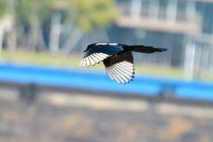 Eine Fliegenelster lizenzfreies stockbild