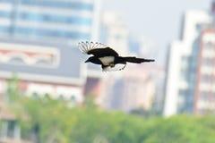 Eine Fliegenelster stockfotos