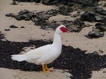 Eine Flugente auf dem Strand Stockfotos