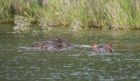 Eine Flusspferdgruppe in einem See, der Kamera betrachtet stockbilder