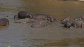 Eine Flusspferdherde im Mara-Fluss am Masai Mara Game Reserve, Kenia stock video