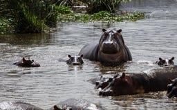 Eine Flusspferdmutter und sein Baby, die oben schauen Stockfotografie