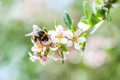 Eine Frühlingshummel, die Blütenstaub von blühendem Apfelbaum sammelt stockfotografie