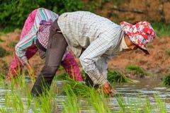 Eine Frau arbeitet auf den Reisgebieten in Kambodscha Stockbilder