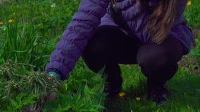Eine Frau arbeitet im Garten, der Unkräuter vom Boden entfernt stock video