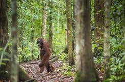 Eine Frau des Orang-Utans mit einem Jungen Bornean-Orang-Utan (Pongo pygmaeus wurmmbii) Stockfoto
