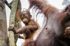 Eine Frau des Orang-Utans mit einem Jungen Bornean-Orang-Utan (Pongo pygmaeus wurmmbii) Lizenzfreie Stockfotografie