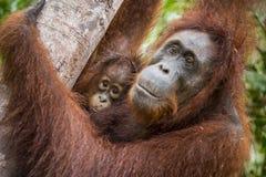 Eine Frau des Orang-Utans mit einem Jungen in einem gebürtigen Lebensraum Stockfoto