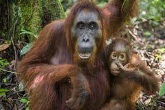Eine Frau des Orang-Utans mit einem Jungen in einem gebürtigen Lebensraum Bornean Orang-Utan Stockfotografie