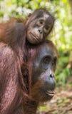 Eine Frau des Orang-Utans mit einem Jungen in einem gebürtigen Lebensraum Bornean Orang-Utan Stockbild