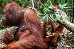 Eine Frau des Orang-Utans mit einem Jungen in einem gebürtigen Lebensraum Bornean-Orang-Utan (Pongo O pygmaeus wurmmbii) in der w Stockbild