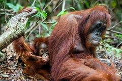 Eine Frau des Orang-Utans mit einem Jungen in einem gebürtigen Lebensraum Bornean-Orang-Utan (Pongo O pygmaeus wurmmbii) in der w Stockbilder
