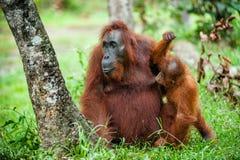Eine Frau des Orang-Utans mit einem Jungen in einem gebürtigen Lebensraum Bornean-Orang-Utan (Pongo pygmaeus) Stockbild