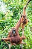 Eine Frau des Orang-Utans mit einem Jungen in einem gebürtigen Lebensraum Bornean-Orang-Utan (Pongo pygmaeus) Lizenzfreie Stockbilder
