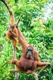 Eine Frau des Orang-Utans mit einem Jungen in einem gebürtigen Lebensraum Bornean-Orang-Utan (Pongo pygmaeus) Stockfotografie