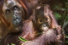 Eine Frau des Orang-Utans mit einem Jungen in einem gebürtigen Lebensraum Bornean-Orang-Utan (Pongo pygmaeus wurmmbii) Lizenzfreies Stockbild