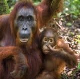 Eine Frau des Orang-Utans mit einem Jungen in einem gebürtigen Lebensraum Bornean-Orang-Utan Pongo pygmaeus wurmmbii Lizenzfreies Stockbild