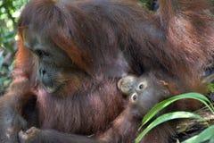 Eine Frau des Orang-Utans mit einem Jungen in einem gebürtigen Lebensraum Bornean-Orang-Utan (Pongo pygmaeus wurmmbii) Lizenzfreie Stockbilder