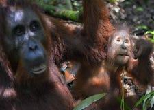 Eine Frau des Orang-Utans mit einem Jungen in einem gebürtigen Lebensraum Bornean-Orang-Utan (Pongo pygmaeus wurmmbii) Stockfoto