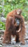 Eine Frau des Orang-Utans mit einem Jungen in einem gebürtigen Lebensraum Bornean-Orang-Utan (Pongo pygmaeus wurmmbii) Lizenzfreie Stockfotos