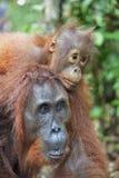 Eine Frau des Orang-Utans mit einem Jungen in einem gebürtigen Lebensraum Bornean-Orang-Utan (Pongo pygmaeus wurmmbii) Stockbild