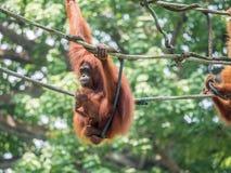 Eine Frau des Orang-Utans mit einem Jungen im Zoo Stockfotos