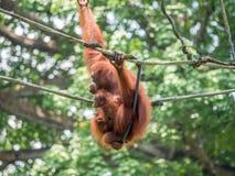 Eine Frau des Orang-Utans mit einem Jungen im Zoo Stockbilder