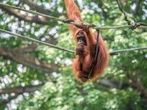 Eine Frau des Orang-Utans mit einem Jungen im Zoo Stockfotografie