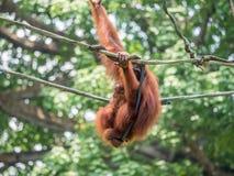 Eine Frau des Orang-Utans mit einem Jungen im Zoo Lizenzfreie Stockfotografie