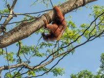 Eine Frau des Orang-Utans mit einem Jungen im Zoo Lizenzfreies Stockfoto