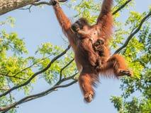 Eine Frau des Orang-Utans mit einem Jungen im Zoo Lizenzfreies Stockbild