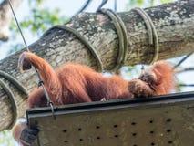 Eine Frau des Orang-Utans mit einem Jungen im Zoo Lizenzfreie Stockfotos