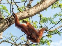 Eine Frau des Orang-Utans mit einem Jungen im Zoo Lizenzfreie Stockbilder