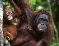 Eine Frau des Orang-Utans mit einem Schätzchen. Lizenzfreie Stockbilder