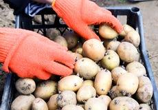 Eine Frau, die in den Arbeitshandschuhen gekleidet wird, stellt die Kartoffeln ein lizenzfreie stockfotos