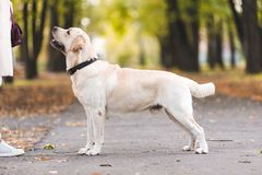 Eine Frau geht mit ihrem Labrador im Fall lizenzfreie stockfotos
