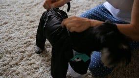 Eine Frau kleidet einen schwarzen Zwergschnauzerwelpen, der im Raum sitzt stock footage