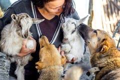 Eine Frau mit kleinen Ziegen und Hunden Hundeblick auf die kleinen Ziegen stockbild