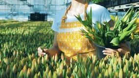 Eine Frau nimmt Tulpen vom Boden an den Plätzen sie in einen Eimer stock footage