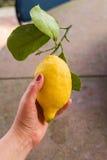 Eine Frau ` s Hand, die eine Zitrone hält Lizenzfreie Stockbilder