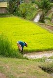 Eine Frau sammelt Reis auf der Plantage Foto in der vertikalen Position von Bali stockfoto