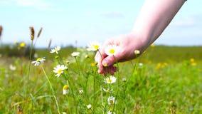 Eine Frau zupft eine Gänseblümchenblume stock video footage