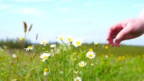 Eine Frau zupft eine Gänseblümchenblume stock video