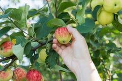 Eine Frauenhand, die einen roten reifen Apfel vom Apfelbaum auswählt Lizenzfreie Stockfotografie