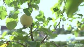 Eine Frauenhand, die einen roten reifen Apfel vom Apfelbaum auswählt stock footage