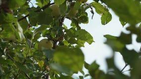 Eine Frauenhand, die einen roten reifen Apfel vom Apfelbaum auswählt stock video footage